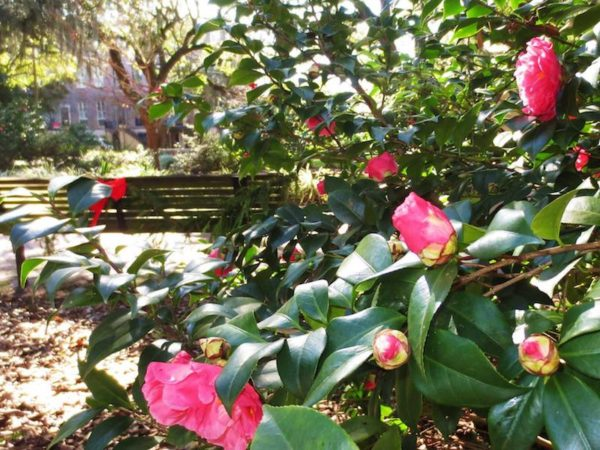 More camellias are getting ready to bloom